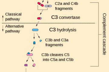 「細菌に対する免疫の働き Vol.60」記事内の画像