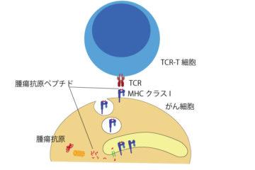 「TCR-T細胞療法 Vol.83」記事内の画像